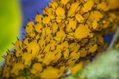 Κίτρινη μακροεντολή Aphids Στοκ φωτογραφίες με δικαίωμα ελεύθερης χρήσης