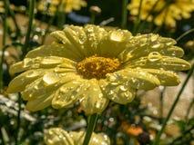 Κίτρινη μαργαρίτα μετά από τη βροχή στον ήλιο βραδιού Στοκ Φωτογραφία