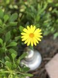 Κίτρινη μαργαρίτα στοκ φωτογραφία