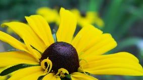 Κίτρινη μαργαρίτα στοκ εικόνα