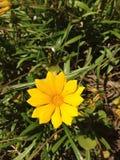 Κίτρινη μαργαρίτα Στοκ εικόνα με δικαίωμα ελεύθερης χρήσης