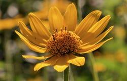 Κίτρινη μαργαρίτα Στοκ φωτογραφίες με δικαίωμα ελεύθερης χρήσης