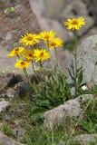 Κίτρινη μαργαρίτα  clusii doronicum Στοκ εικόνες με δικαίωμα ελεύθερης χρήσης