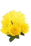 Κίτρινη μαργαρίτα mum Στοκ Φωτογραφίες