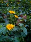 Κίτρινη μικρή άνθιση λουλουδιών την άνοιξη στοκ φωτογραφίες
