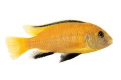 Κίτρινη μορφή johannii Melanochromis Στοκ εικόνες με δικαίωμα ελεύθερης χρήσης
