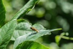 Κίτρινη μύγα λουλουδιών στο πράσινο φύλλο Στοκ εικόνες με δικαίωμα ελεύθερης χρήσης