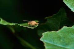 Κίτρινη μύγα πέρα από το πράσινο φύλλο Στοκ φωτογραφία με δικαίωμα ελεύθερης χρήσης