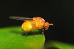 Κίτρινη μύγα Στοκ Εικόνες
