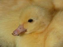 Κίτρινη νέα εσωτερική πάπια νεοσσών Στοκ Φωτογραφίες