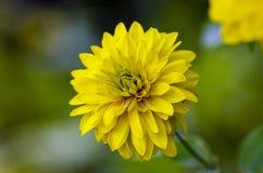 Κίτρινη ντάλια στον κήπο στοκ φωτογραφία
