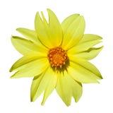 Κίτρινη ντάλια Στοκ Εικόνα