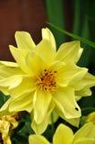 Κίτρινη ντάλια στοκ φωτογραφίες με δικαίωμα ελεύθερης χρήσης