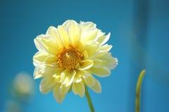 Κίτρινη ντάλια Στοκ Εικόνες