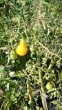 Κίτρινη ντομάτα αχλαδιών, Solanum lycopersicum Στοκ Φωτογραφίες