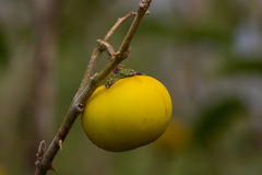 Κίτρινη ντομάτα Στοκ Εικόνα