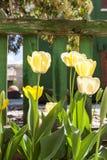 Κίτρινη οικογένεια τουλιπών Στοκ εικόνες με δικαίωμα ελεύθερης χρήσης