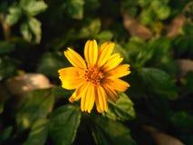 Κίτρινη ομορφιά λουλουδιών στη φύση Στοκ εικόνες με δικαίωμα ελεύθερης χρήσης