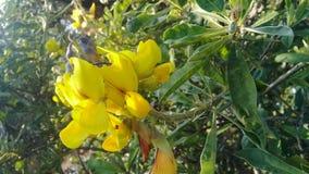 Κίτρινη ομορφιά στοκ εικόνες