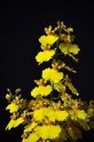 Κίτρινη ορχιδέα ή κυρία που χορεύει στο μαύρο υπόβαθρο στοκ εικόνες