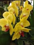 κίτρινη ορχιδέα στον κήπο στοκ φωτογραφία με δικαίωμα ελεύθερης χρήσης