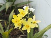 Κίτρινη ορχιδέα Spathoglottis Στοκ εικόνα με δικαίωμα ελεύθερης χρήσης