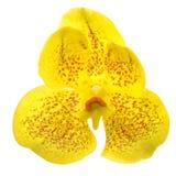 Κίτρινη ορχιδέα Στοκ Εικόνες