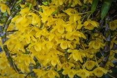 Κίτρινη ορχιδέα Chantaboon Dendrobium Στοκ εικόνες με δικαίωμα ελεύθερης χρήσης