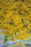 Κίτρινη ορχιδέα Chantaboon Dendrobium Στοκ φωτογραφία με δικαίωμα ελεύθερης χρήσης