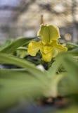 Κίτρινη ορχιδέα paphiopedilum Στοκ φωτογραφίες με δικαίωμα ελεύθερης χρήσης