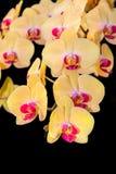 Κίτρινη ορχιδέα Phalaenopsis Στοκ φωτογραφίες με δικαίωμα ελεύθερης χρήσης