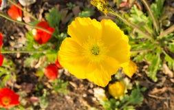 Κίτρινη παπαρούνα Στοκ Εικόνες