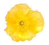 Κίτρινη παπαρούνα Στοκ εικόνες με δικαίωμα ελεύθερης χρήσης