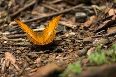 Κίτρινη πεταλούδα με περίεργα να χαρακτηρίσει όπως τα μάτια που κάθονται στο έδαφος Στοκ Φωτογραφίες