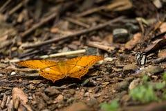 Κίτρινη πεταλούδα με περίεργα να χαρακτηρίσει όπως τα μάτια που κάθονται στο έδαφος Στοκ Εικόνα
