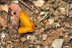 Κίτρινη πεταλούδα με περίεργα να χαρακτηρίσει όπως τα μάτια που κάθονται στο έδαφος Στοκ Εικόνες