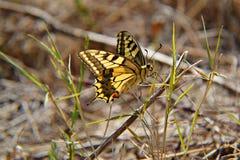 Κίτρινη πεταλούδα στη χλόη Στοκ Φωτογραφίες