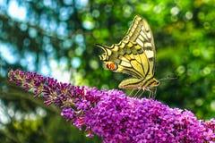 Κίτρινη πεταλούδα swallowtail στην ανθίζοντας θερινή πασχαλιά ή πεταλούδα-Μπους στοκ εικόνες