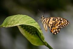 Κίτρινη πεταλούδα ασβέστη με τις μαύρες γραμμές επιτόπου το σώμα και τα φτερά και μπλε Demoleus Papilio Στοκ φωτογραφία με δικαίωμα ελεύθερης χρήσης
