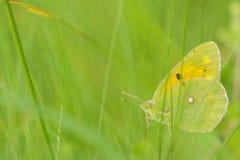 Κίτρινη πεταλούδα μεταξύ των χορταριών Στοκ Φωτογραφία