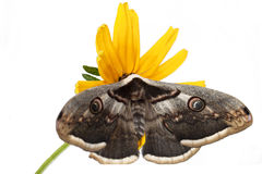 Κίτρινη πεταλούδα σε ένα κίτρινο λουλούδι στοκ εικόνες με δικαίωμα ελεύθερης χρήσης