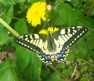 Κίτρινη πεταλούδα στην πικραλίδα Στοκ Φωτογραφία