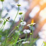 Κίτρινη πεταλούδα στη Daisy Στοκ φωτογραφία με δικαίωμα ελεύθερης χρήσης