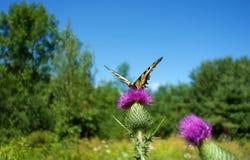 Κίτρινη πεταλούδα στον κάρδο στοκ εικόνα με δικαίωμα ελεύθερης χρήσης