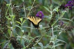 Κίτρινη πεταλούδα στον πορφυρό θάμνο πεταλούδων Στοκ εικόνες με δικαίωμα ελεύθερης χρήσης