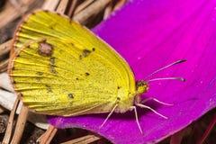 κίτρινη πεταλούδα Στοκ Εικόνες