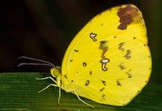 κίτρινη πεταλούδα στοκ φωτογραφία