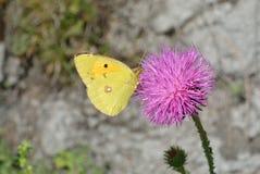 κίτρινη πεταλούδα Στοκ Εικόνα