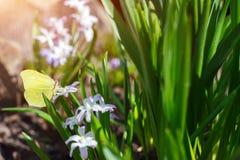 κίτρινη πεταλούδα Στοκ εικόνες με δικαίωμα ελεύθερης χρήσης