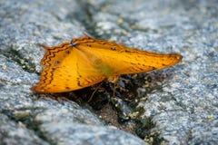 κίτρινη πεταλούδα Στοκ εικόνα με δικαίωμα ελεύθερης χρήσης